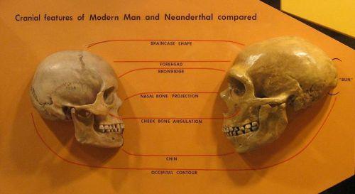 800px-Sapiens_neanderthal_comparison